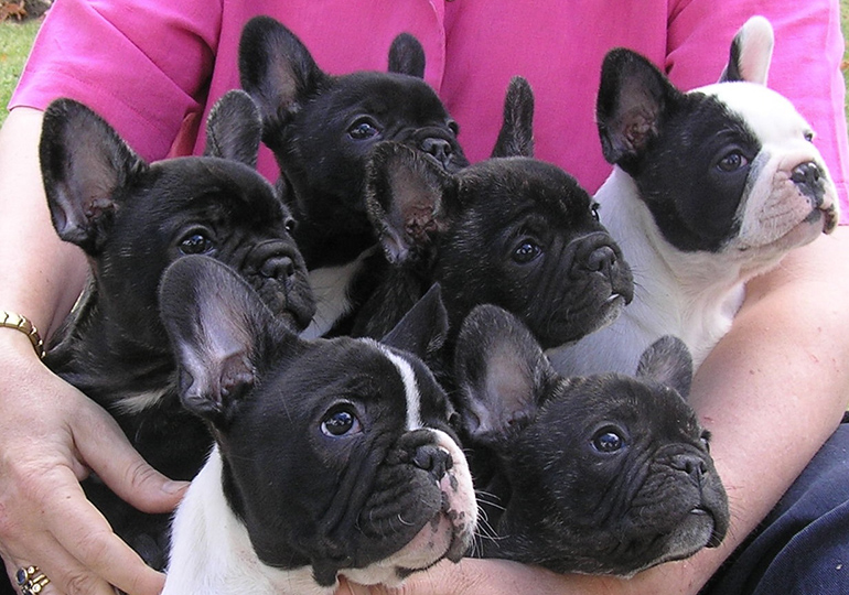 Breeders French Bulldog Club Of NSW Inc