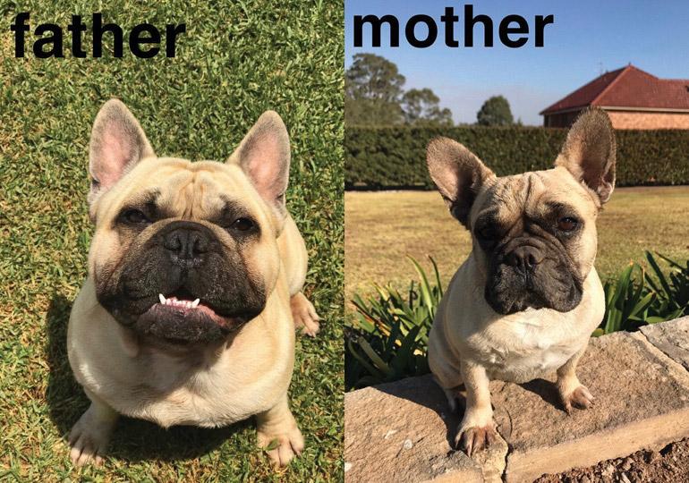 Breeders French Bulldog Club Of NSW Inc