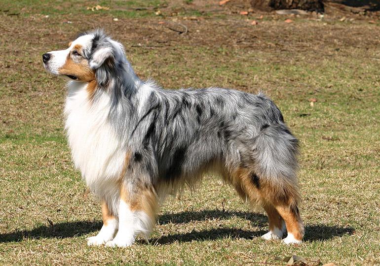 Australian Shepherd Breeds