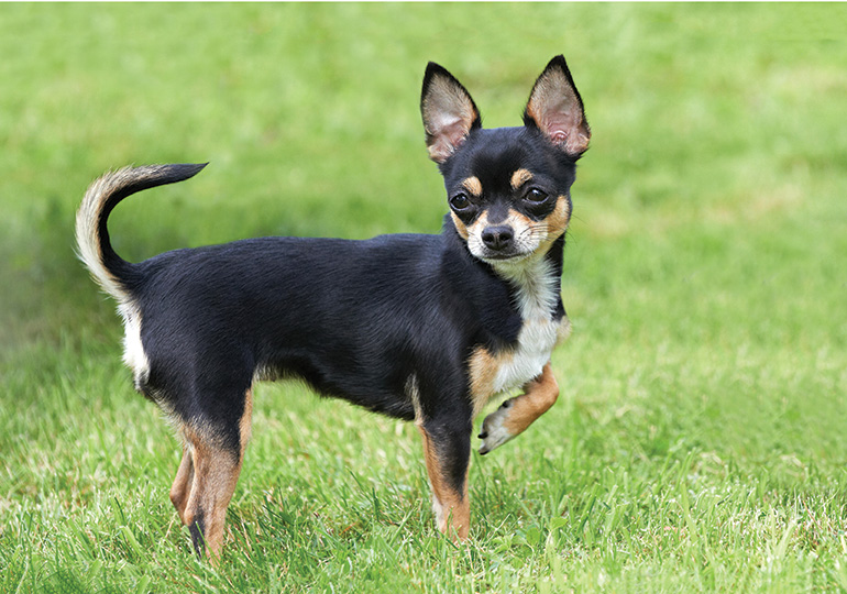 Chihuahua Smooth Coat Breeds