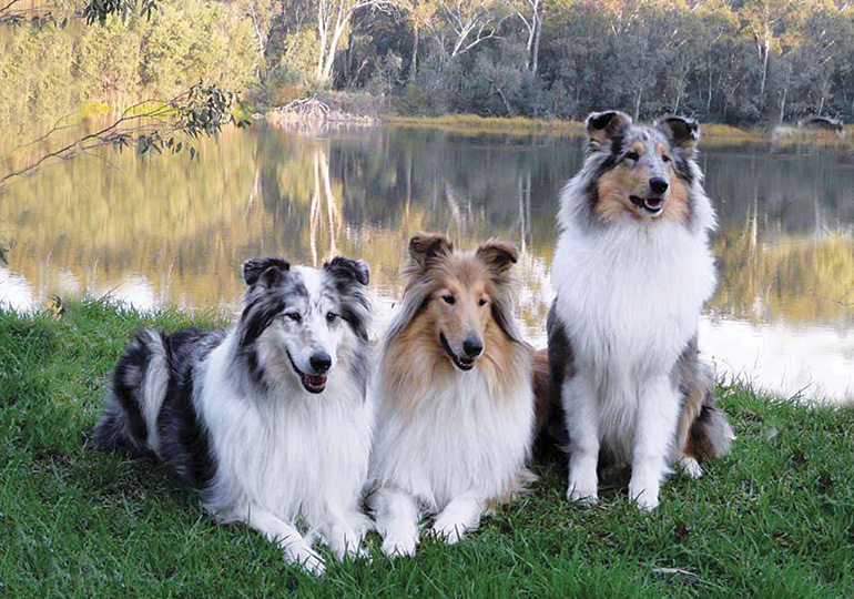 Collie (Rough) Breeds
