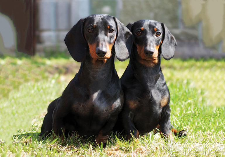 Dachshund Smooth Haired Miniature