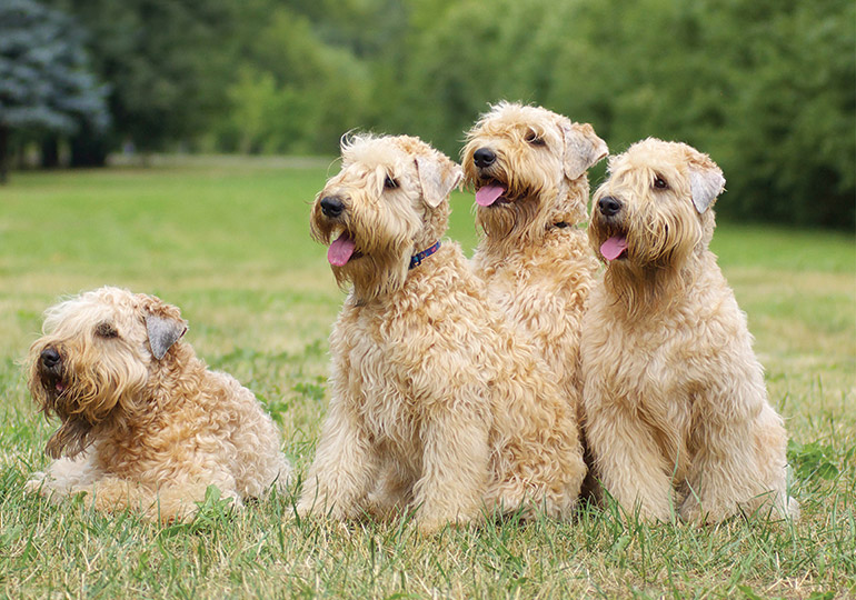 Soft Coated Wheaten Terrier Breeds