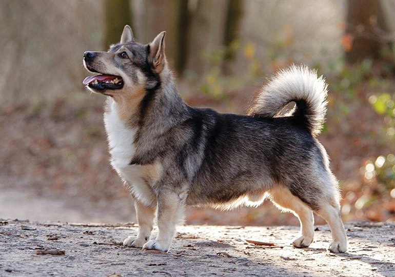 Image result for swedish vallhund